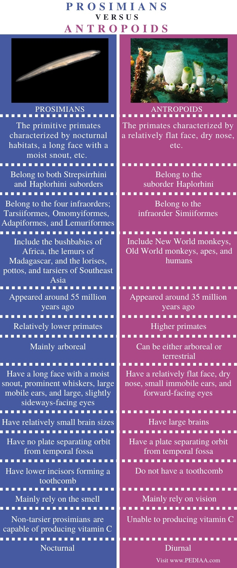 Difference Between Prosimians and Anthropoids - Comparison Summary