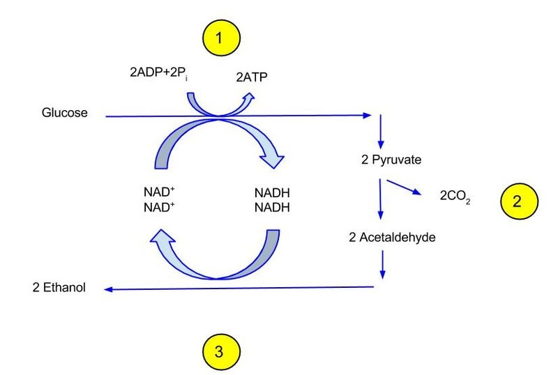 Aerobic vs Anaerobic Glycolysis