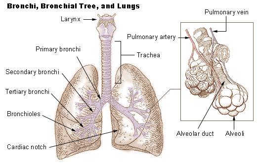 Main Difference - Bronchioles vs Alveoli