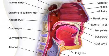 Difference Between Esophagus and Throat