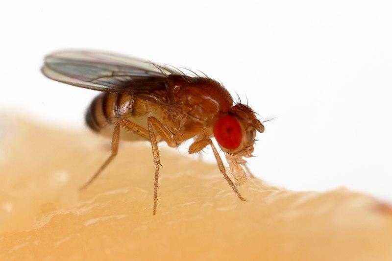 Male vs Female Fruit Flies