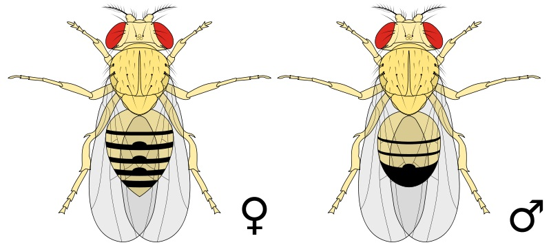 What is the Difference Between Male and Female Fruit Flies