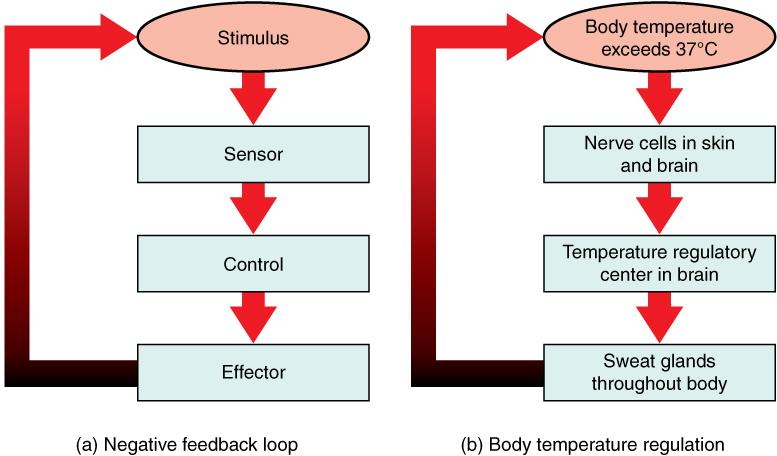Main Difference - Positive vs Negative Feedback Homeostasis