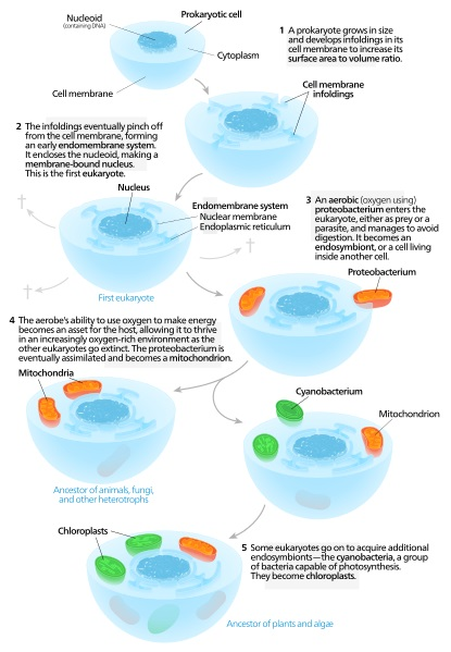 Difference Between Primary and Secondary Endosymbiosis