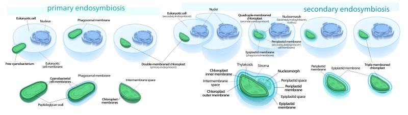 Primary vs Secondary Endosymbiosis