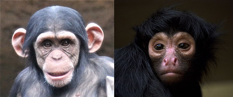 Main Difference - Prosimians vs Anthropoids