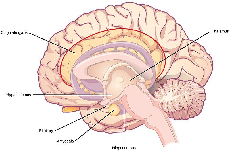 Difference Between Thalamus and Hypothalamus