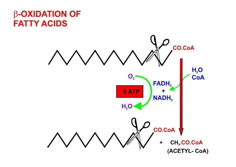 Acetyl CoA vs Acyl CoA