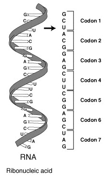 Base Sequence vs Amino Acid Sequence