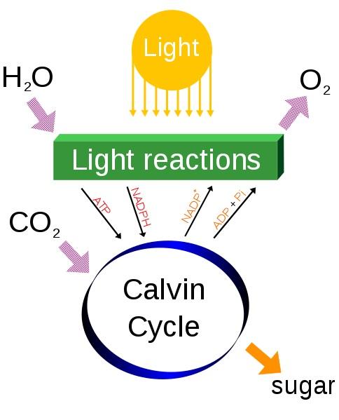 C3 vs C4 vs CAM Photosynthesis