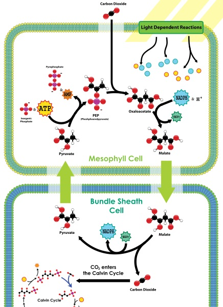 Difference Between C3 C4 and CAM Photosynthesis