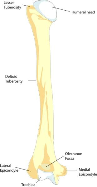 Femur vs Humerus