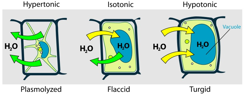 Difference Between Flaccid and Plasmolysed
