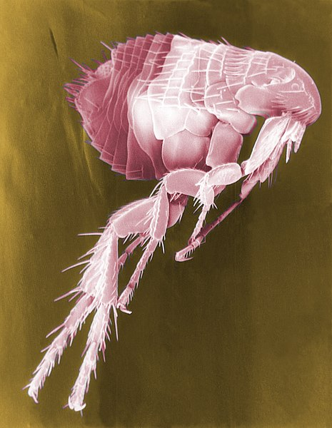 What is the Difference Between Fleas and Mites