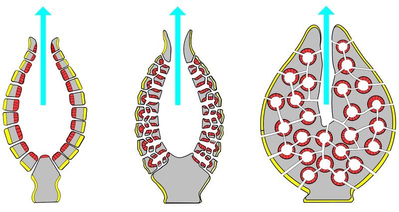 Mesoglea in Cnidarians vs Mesohyl in Poriferans