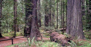 What is the Difference Between Redwood and Sequoia