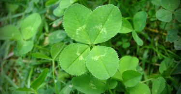 Shamrock and Clover