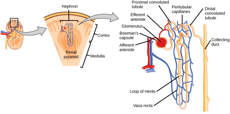Difference Between Vasa Recta and Peritubular Capillaries