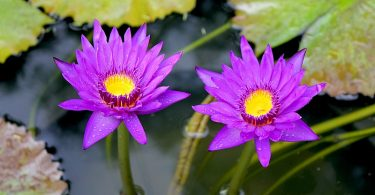 Difference Between Water Lily and Lotus