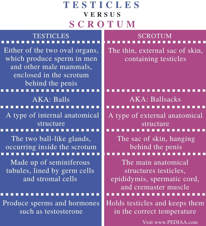 Difference Between Testicles and Scrotum - Comparison Summary