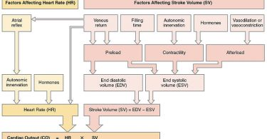 Difference Between Cardiac Output and Stroke Volume