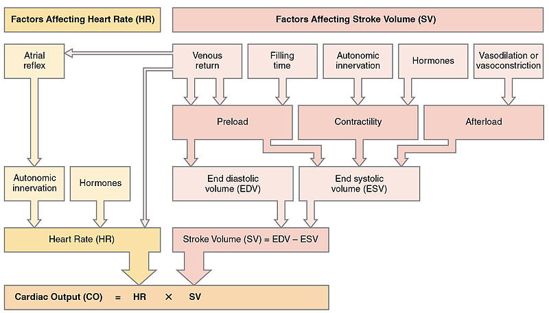 What is the Difference Between Cardiac Output and Stroke Volume