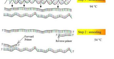 What is the Difference Between Denaturation and Renaturation of DNA