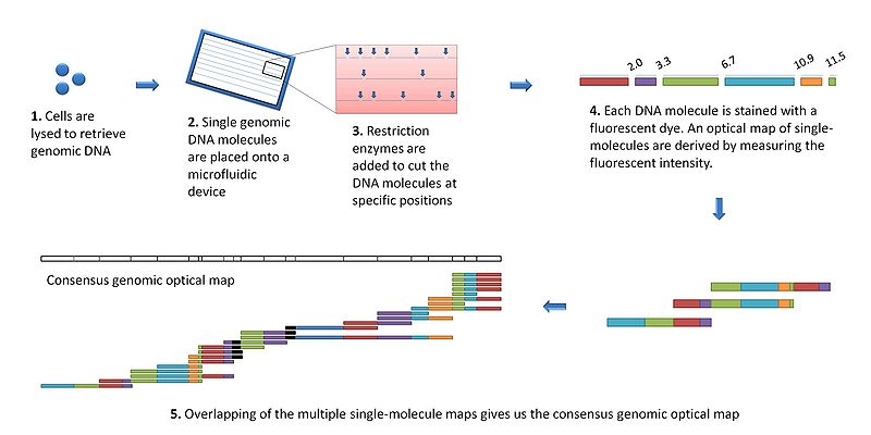 Difference Between Genetic and Physical Mapping