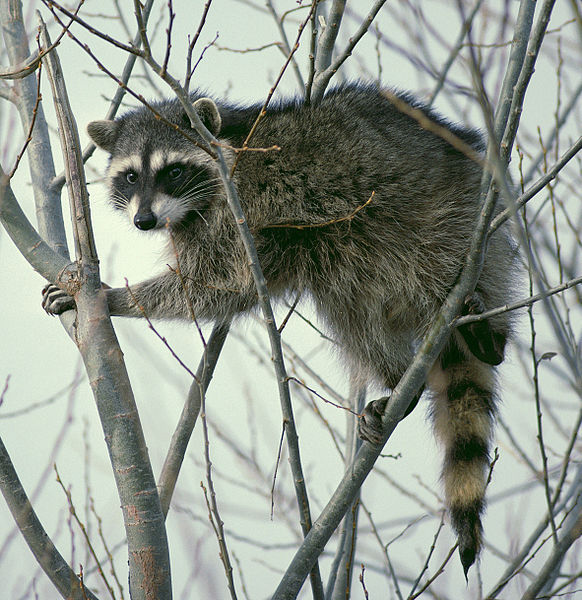 Main Difference - Possum vs Raccoon