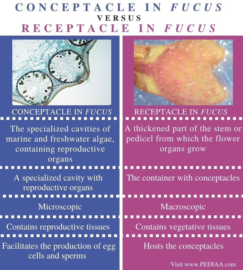 Difference Between Conceptacle and Receptacle in Fucus - Comparison Summary