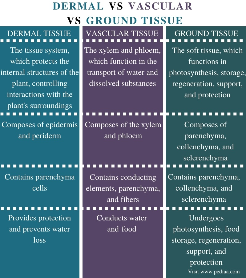 Difference Between Dermal Vascular and Ground Tissue - Comparison Summary