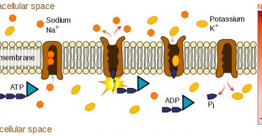 Difference Between ATPase and ATP Synthase