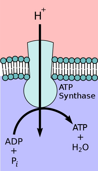 Main Difference - ATPase vs ATP Synthase