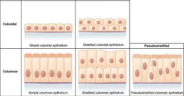 Difference Between Cuboidal and Columnar Cells