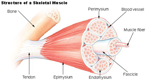 What is the Difference Between Epimysium and Fascia