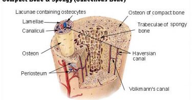 What is the Difference Between Osteons and Osteocytes