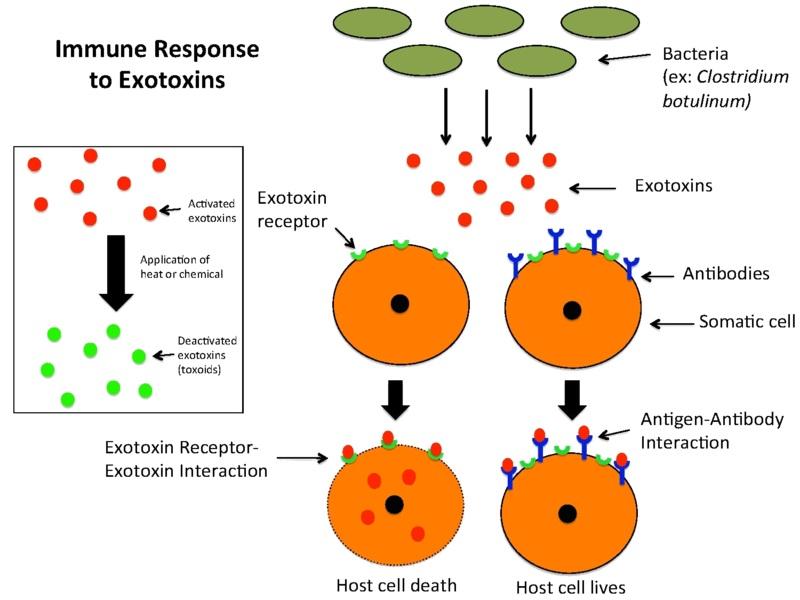 Main Difference - Endotoxin Enterotoxin vs Exotoxin