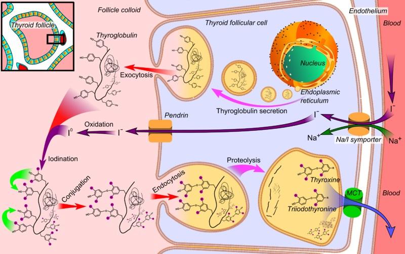 Difference Between Follicular and Parafollicular Cells