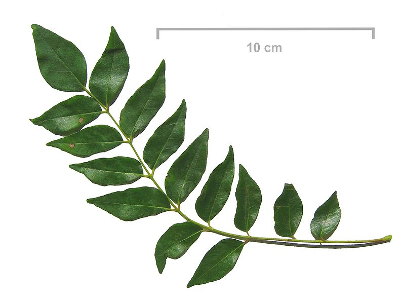 Difference Between Curry Leaves and Bay Leaves