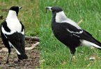 Main Difference - Male vs Female Magpies