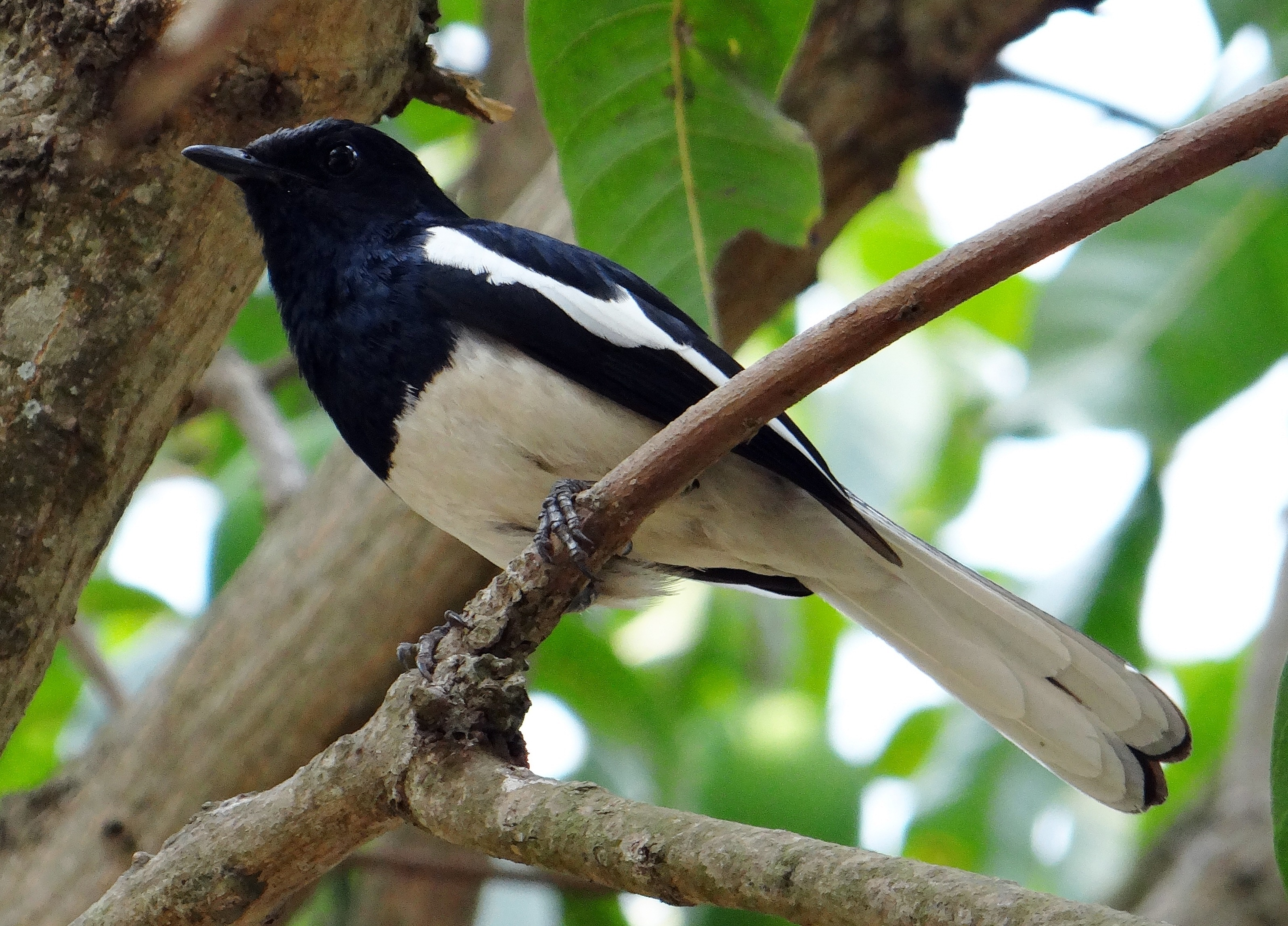 Difference Between Male and Female Magpies