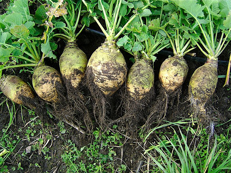 Main Difference - Rutabaga vs Turnip