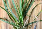 Difference Between Lemon Grass and Citronella