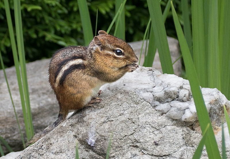 Appearance of Chipmunk