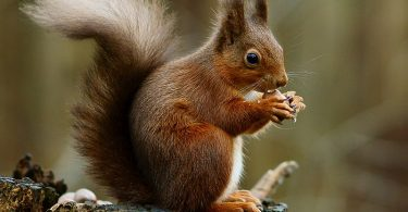Appearance of Squirrel