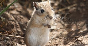 What is Gerbil