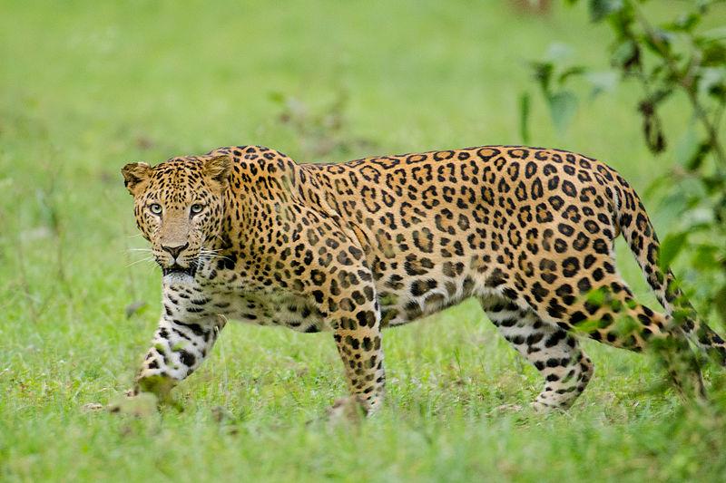Compare Jaguar and Leopard