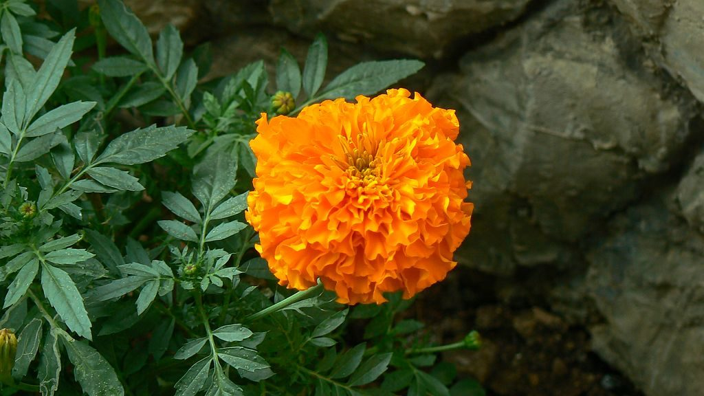 Compare African and French Marigold