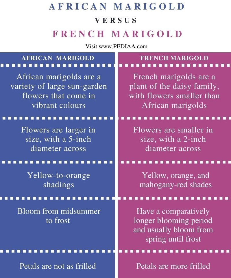 Difference Between African and French Marigold  - Comparison Summary