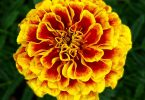 African vs French Marigold